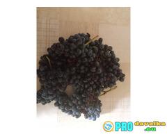 Продавам винено грозде сорт рубин и мерло село Брестовица област Пловдив цена 0.80